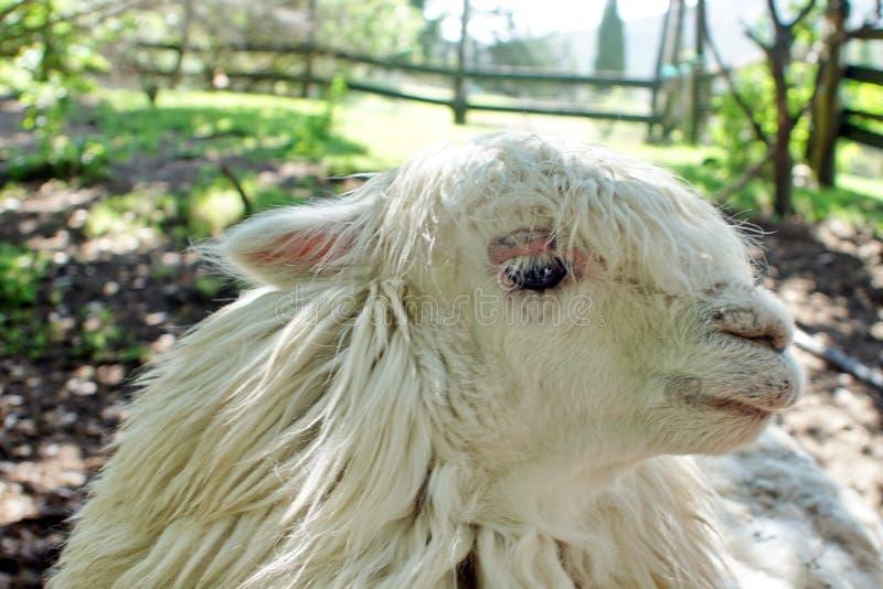 Sluit omhoog van een witte lama royalty-vrije stock foto's