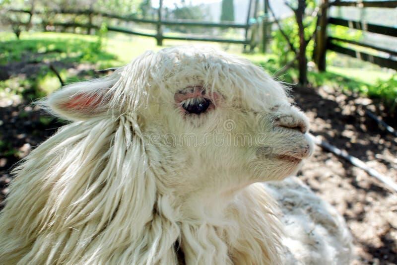 Sluit omhoog van een witte lama stock afbeeldingen