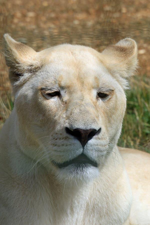 Sluit omhoog van een Witte Leeuw royalty-vrije stock afbeelding