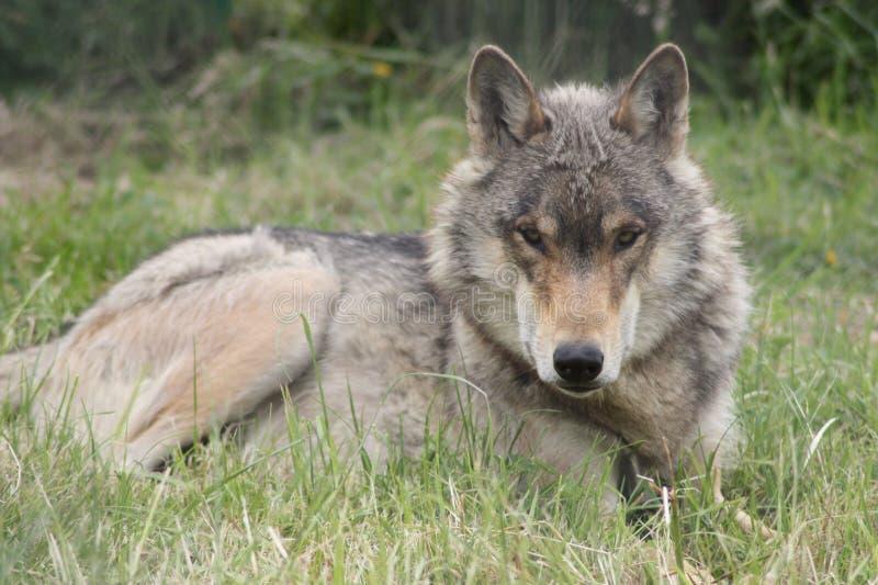 Sluit omhoog van een wolf die van de het Noorden Westelijke Wolf in het altijd ooit waakzame gras liggen stock foto