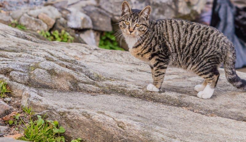 Sluit omhoog van een zwart-witte gestreepte katkat stock afbeeldingen