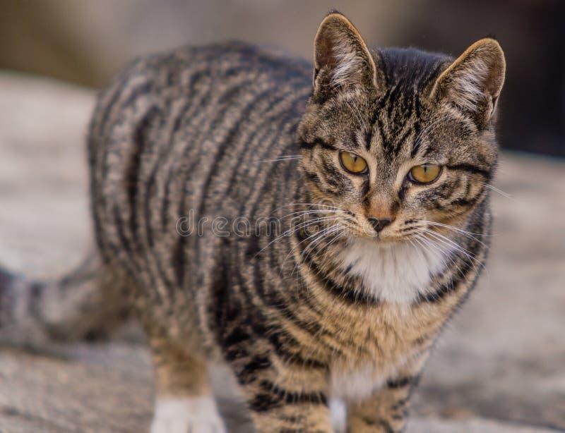 Sluit omhoog van een zwart-witte gestreepte katkat stock foto's