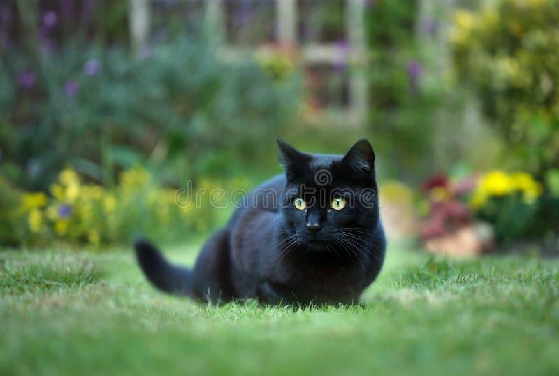 Sluit omhoog van een zwarte kat op het gras in de achtertuin royalty-vrije stock afbeelding