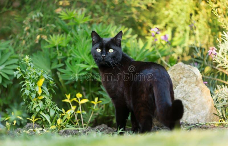 Sluit omhoog van een zwarte kat op het gras in de tuin stock fotografie