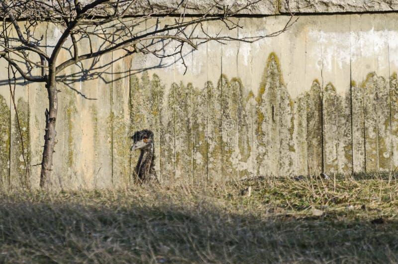 Sluit omhoog van Emoestruisvogel die ongebruikelijke structuur en veerregeling tonen rond oren royalty-vrije stock foto's