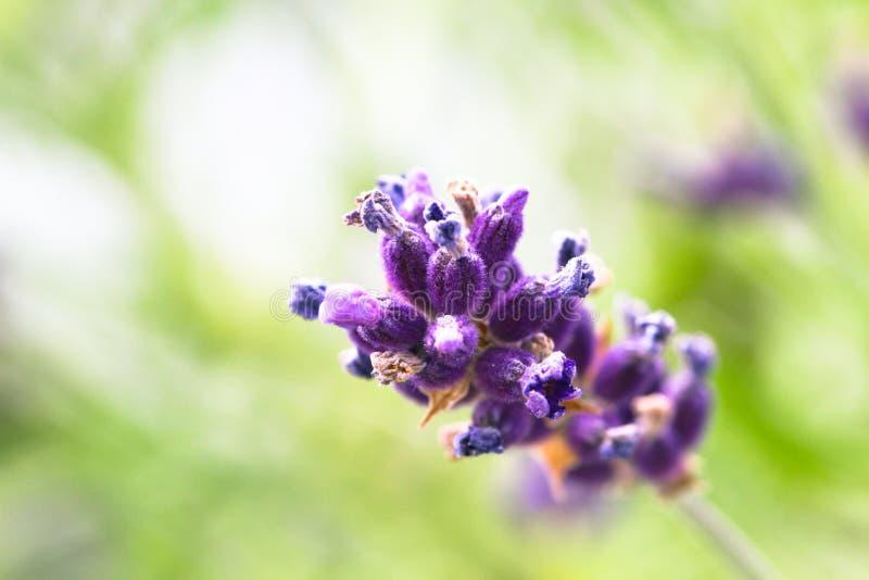 Sluit omhoog van enige geïsoleerde purpere lavendelbloem in a uit nadruk lichtgroene achtergrond stock foto's
