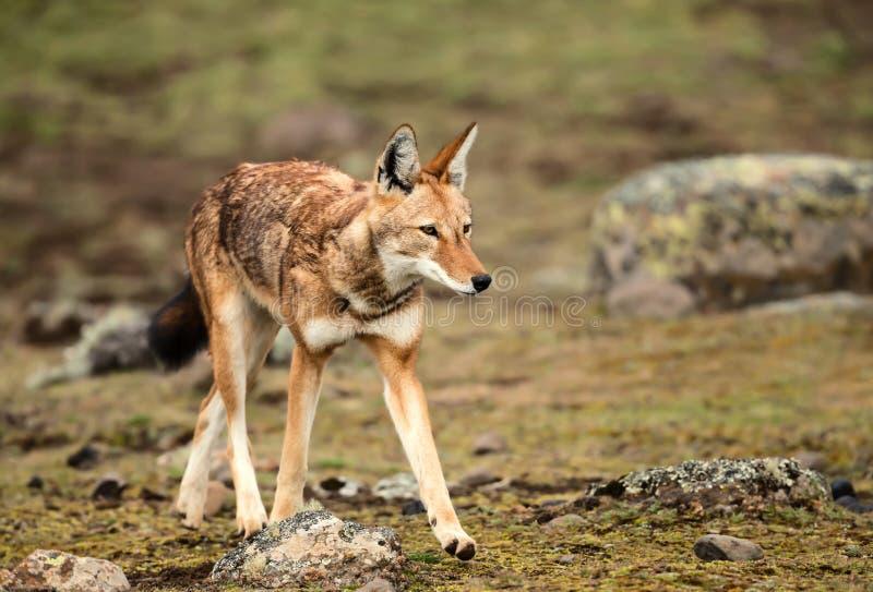 Sluit omhoog van Ethiopische wolf, meest bedreigde canid in de wereld stock fotografie