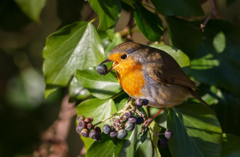 Sluit omhoog van Europese Robin die bessen in een boom eten stock foto