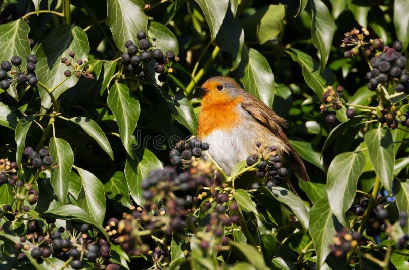 Sluit omhoog van Europese Robin die bessen in een boom eten stock fotografie