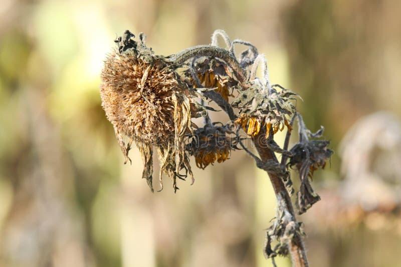 Sluit omhoog van geïsoleerde droevige bruine langzaam verdwenen annuusbloesem van zonnebloemhelianthus met het hangen van hoofd i royalty-vrije stock afbeelding