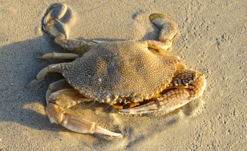 Sluit omhoog van geïsoleerde krab met indrukwekkende klauwen in het zand op Jamaïca stock fotografie