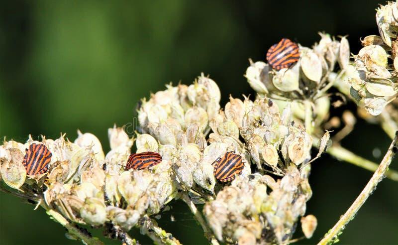 Sluit omhoog van geïsoleerde rode en zwarte gestreepte lineatum van de insectengraphosoma van het minstreelschild op een langzaam stock fotografie