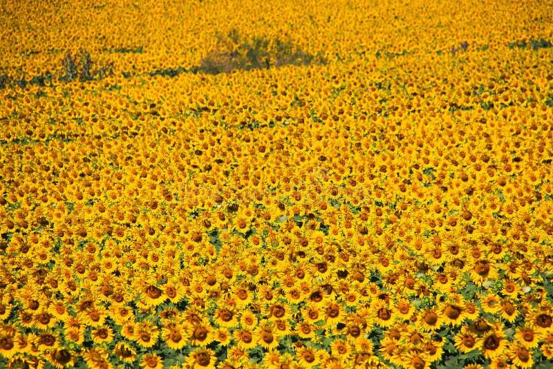 Sluit omhoog van gebied met heldere glanzende talloze zonnebloemen - Andalusia royalty-vrije stock foto's