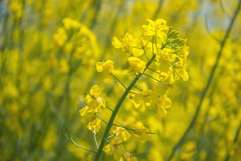 Sluit omhoog van geel gebieds bloeiend koolzaad op de lentebrassica napus, het Bloeien canola, het heldere landschap van de raapz stock foto