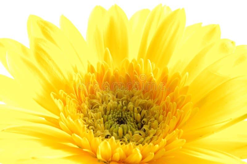 Sluit omhoog van geel gerbermadeliefje stock afbeelding