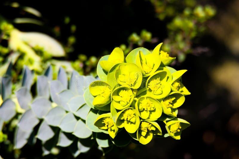 Sluit omhoog van gele bloeiende mirte spurge Wolfsmelk myrsinites in de lente stock foto's