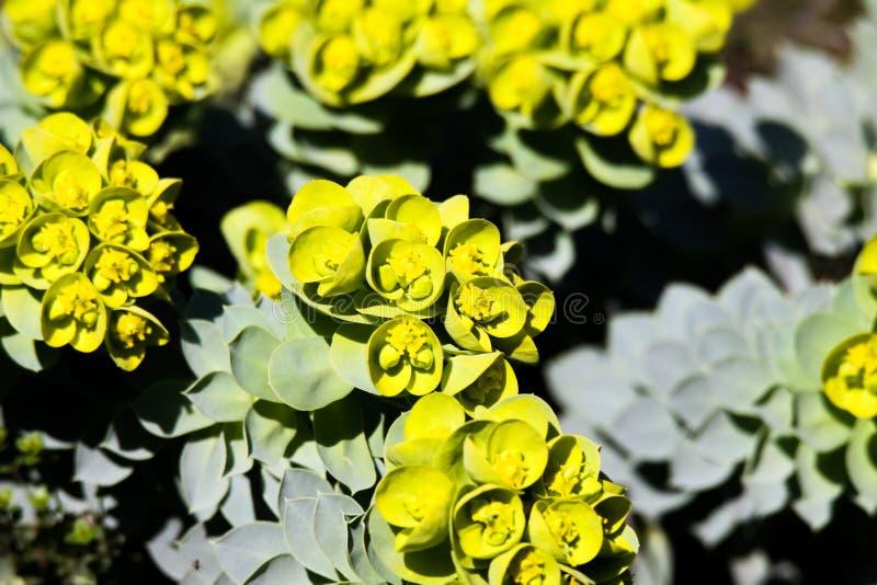 Sluit omhoog van gele bloeiende mirte spurge Wolfsmelk myrsinites in de lente stock afbeelding
