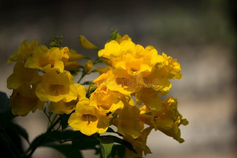 Sluit omhoog van Gele bloem, Gele ouder royalty-vrije stock afbeelding