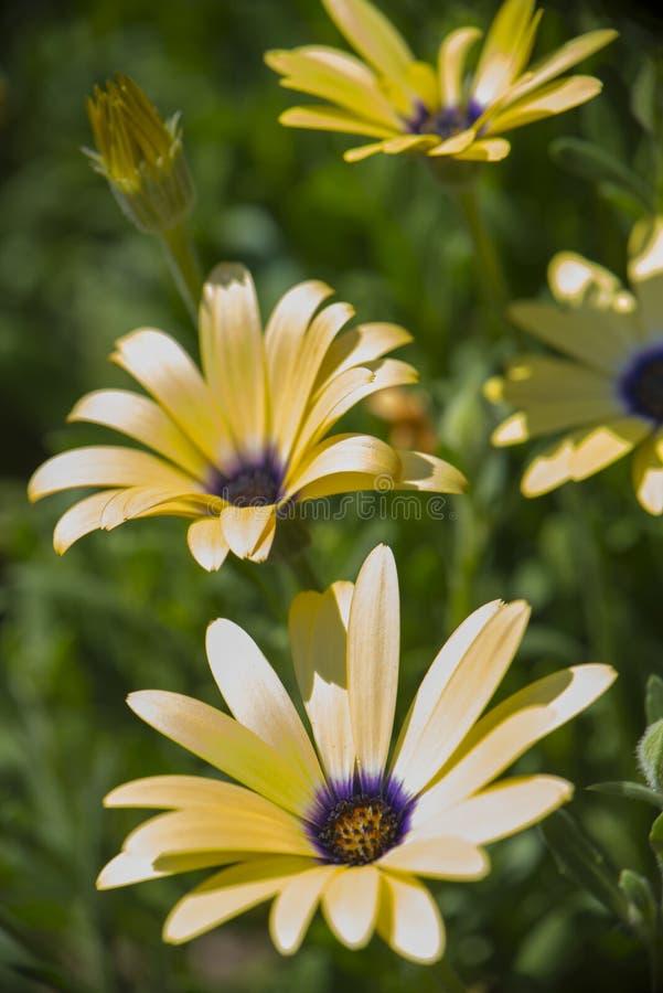Sluit omhoog van gele madeliefjes in volledige bloei stock afbeeldingen