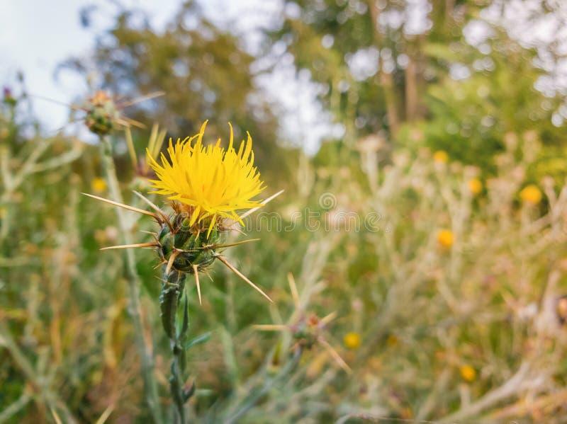 Sluit omhoog van gele starthistle doornige struiken groeiend op een wild steppegebied De invasieve installatie van Centaureasolst stock foto's