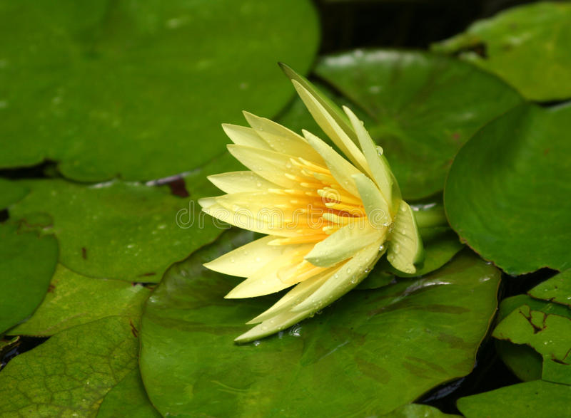 Sluit omhoog van Gele Waterlily met groene leliestootkussens royalty-vrije stock afbeelding