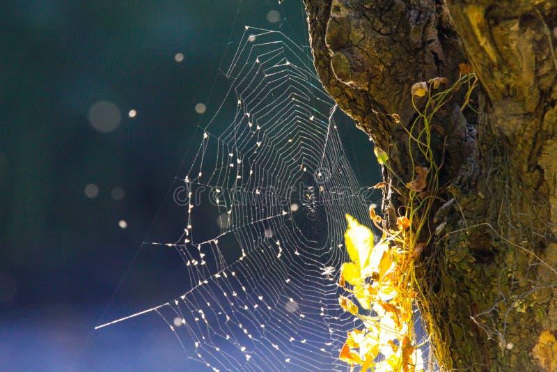 Sluit omhoog van glanzend spinneweb bij de schors van de boomboomstam met heldere gloeiende bladeren op de herfstzon vage blauwe  royalty-vrije stock afbeeldingen