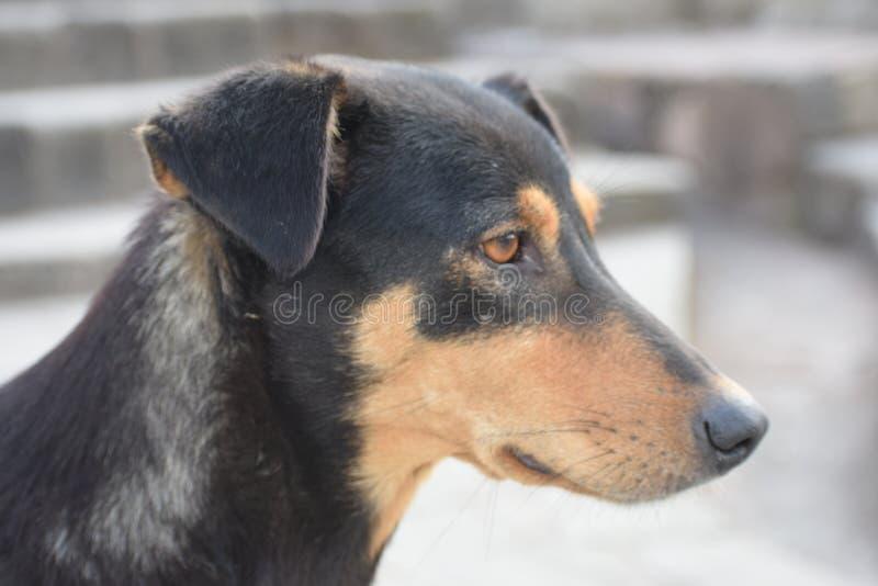 Sluit omhoog van gouden en zwarte hond stock fotografie