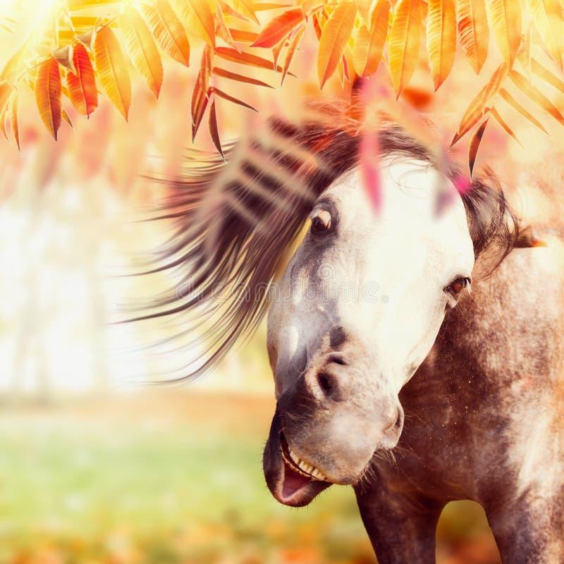 Sluit omhoog van grappig grijs paardhoofd bij de achtergrond van de de herfstaard met kleurrijk dalingsgebladerte, weiland en zon stock afbeelding