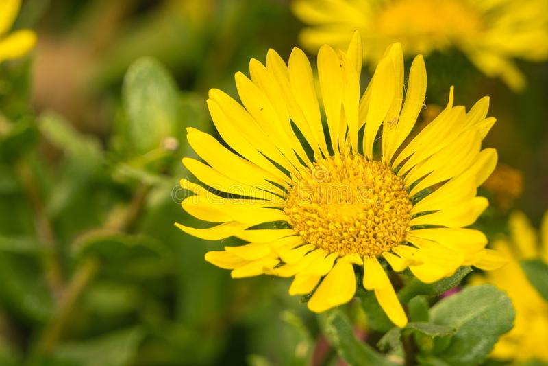 Sluit omhoog van Grindelia wildflower, Californië stock afbeelding