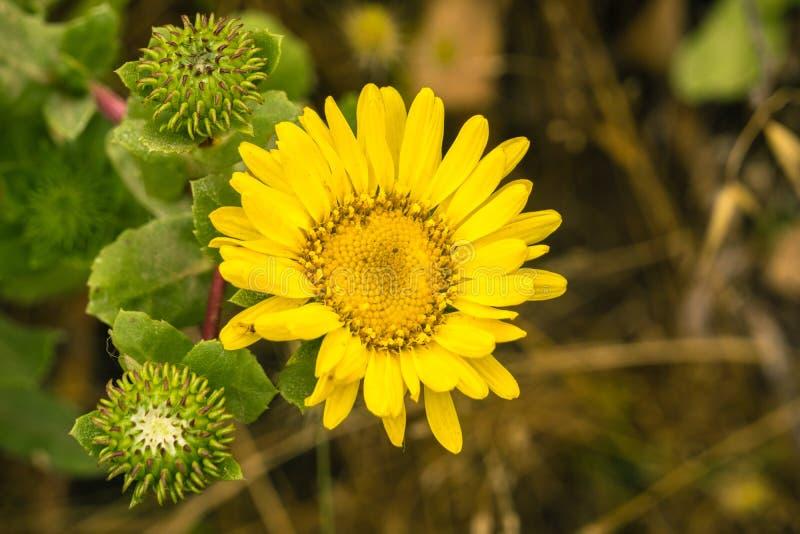 Sluit omhoog van Grindelia wildflower, Californië stock afbeeldingen