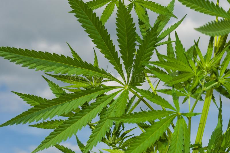 Sluit omhoog van groene cannabisbladeren royalty-vrije stock foto's