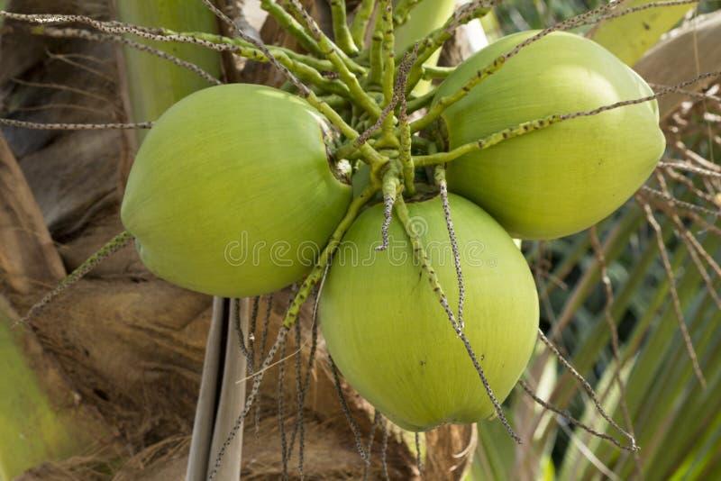 Sluit omhoog van groene Kokosnotenvruchten en Groene Bladeren op de natuurlijke boom stock foto