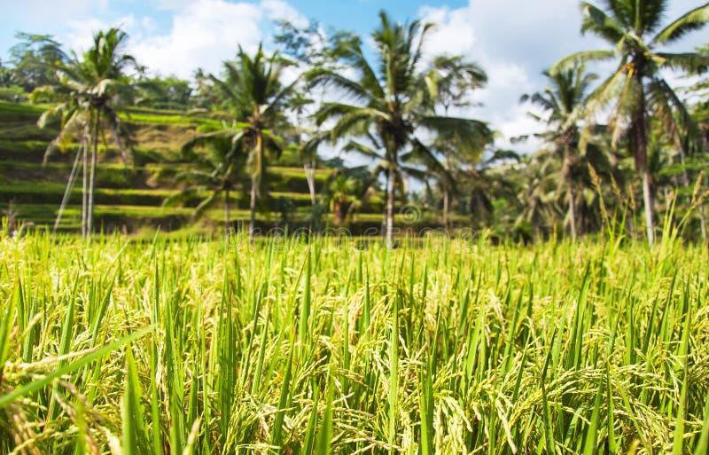 Sluit omhoog van groene padieveld en palmen op de achtergrond Textuur van het kweken van rijst, groen gras Rijstlandbouwbedrijf,  royalty-vrije stock foto