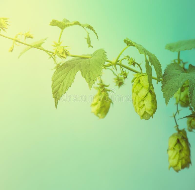 Sluit omhoog van groene rijpe hopkegels Het ingrediënt van de bierproductie In stock foto