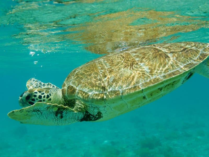 Sluit omhoog van Groene Zeeschildpad die (Chelonia-mydas) zwemt stock foto's