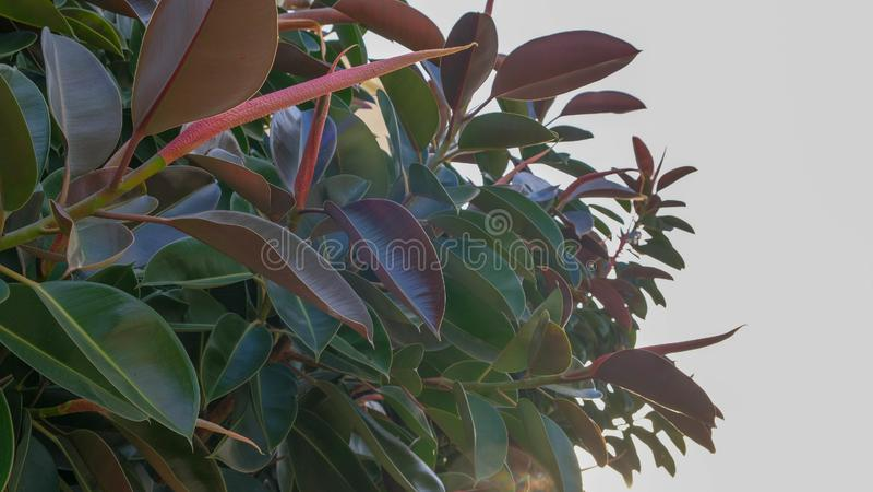 Sluit omhoog van grote bladeren van Ficusinstallatie op blauwe hemel royalty-vrije stock afbeeldingen