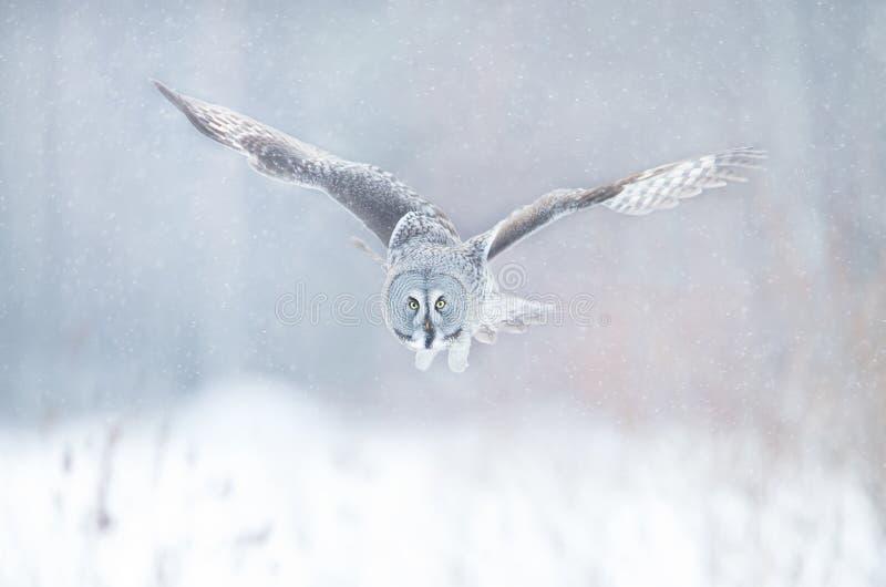 Sluit omhoog van Grote grijze uil tijdens de vlucht in de winter royalty-vrije stock foto's
