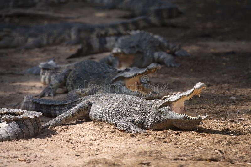 Sluit omhoog van grote krokodillen zonnebadend in de zon royalty-vrije stock afbeelding