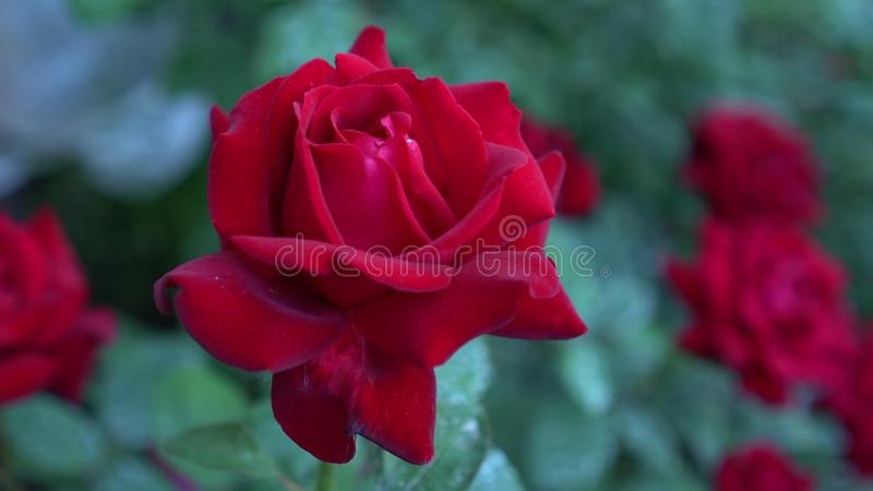 Sluit omhoog van grote struik bloeiende rode rozen in plattelandstuin Groene onscherpe aardachtergrond zomer stock fotografie