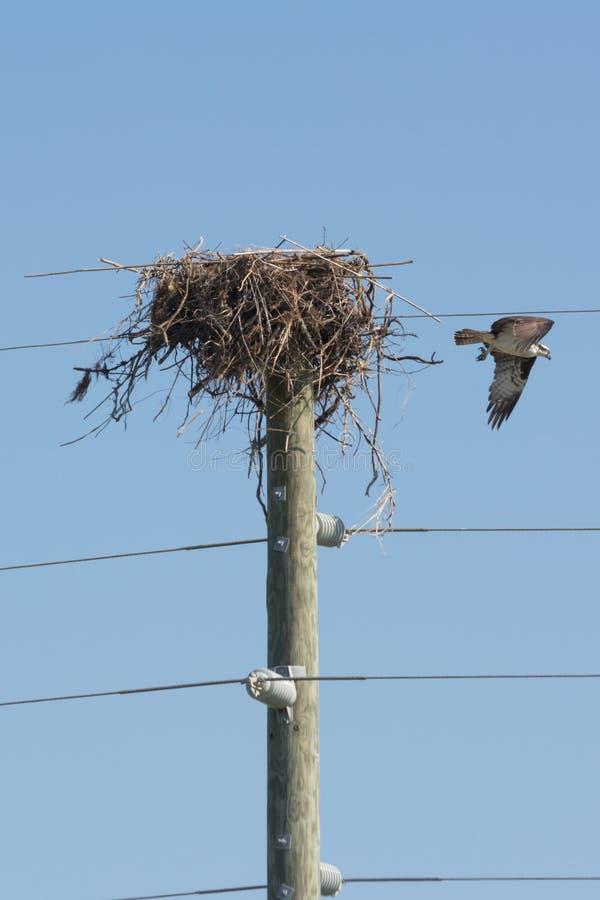 Sluit omhoog van Hawk Living in een Nest dat op de Bovenkant van een Elektriciteit Pool wordt voortgebouwd stock afbeelding
