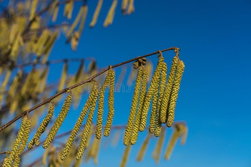 Sluit omhoog van Hazel Male Catkins Corylus-avellana royalty-vrije stock foto
