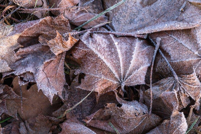 Sluit omhoog van het bevroren blad van de rijpesdoorn onder ijzig gras, blad royalty-vrije stock foto's