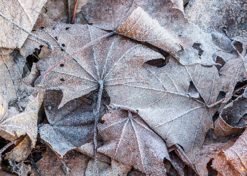 Sluit omhoog van het bevroren blad van de rijpesdoorn onder ijzig gras, blad stock fotografie