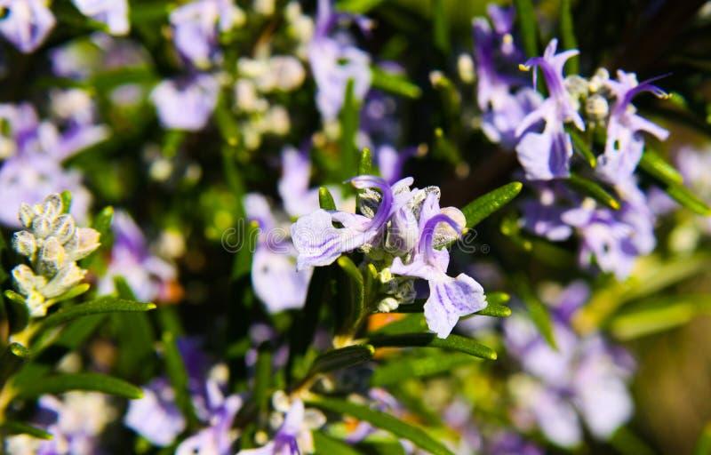 Sluit omhoog van het bloeien officinalis van Rosmarinus van de rozemarijnstruik in de lente stock afbeelding