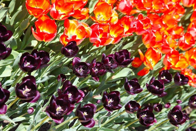 Sluit omhoog van het bloeien rood met gele en zwarte tulpen royalty-vrije stock afbeelding