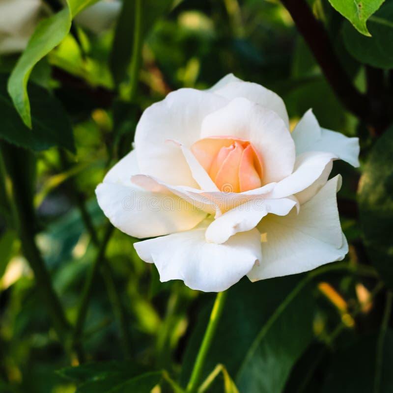 Sluit omhoog van het heldere roze en wit bloeien toenam en achtergrond van groene bladeren stock foto's