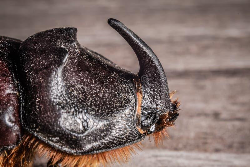 Sluit omhoog van het hoofd van een rinoceroskever met een nadruk op de hoorn stock fotografie