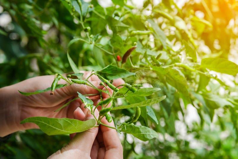 Sluit omhoog van het met de hand plukken van Spaanse peper van de tuin , landbouwers` s hand k royalty-vrije stock foto's
