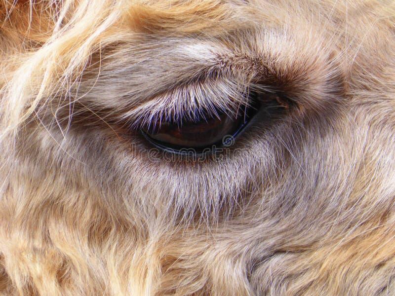 Sluit omhoog van het oog van een lama royalty-vrije stock afbeeldingen