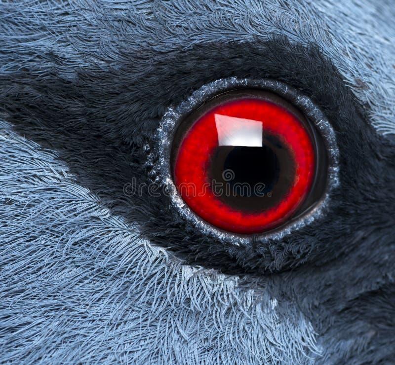 Sluit omhoog van het oog van Victoria Crowned Pigeon stock afbeeldingen